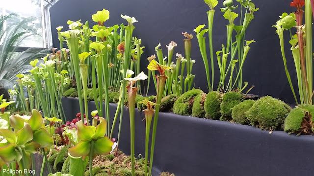 rośliny owadożerne, roraima