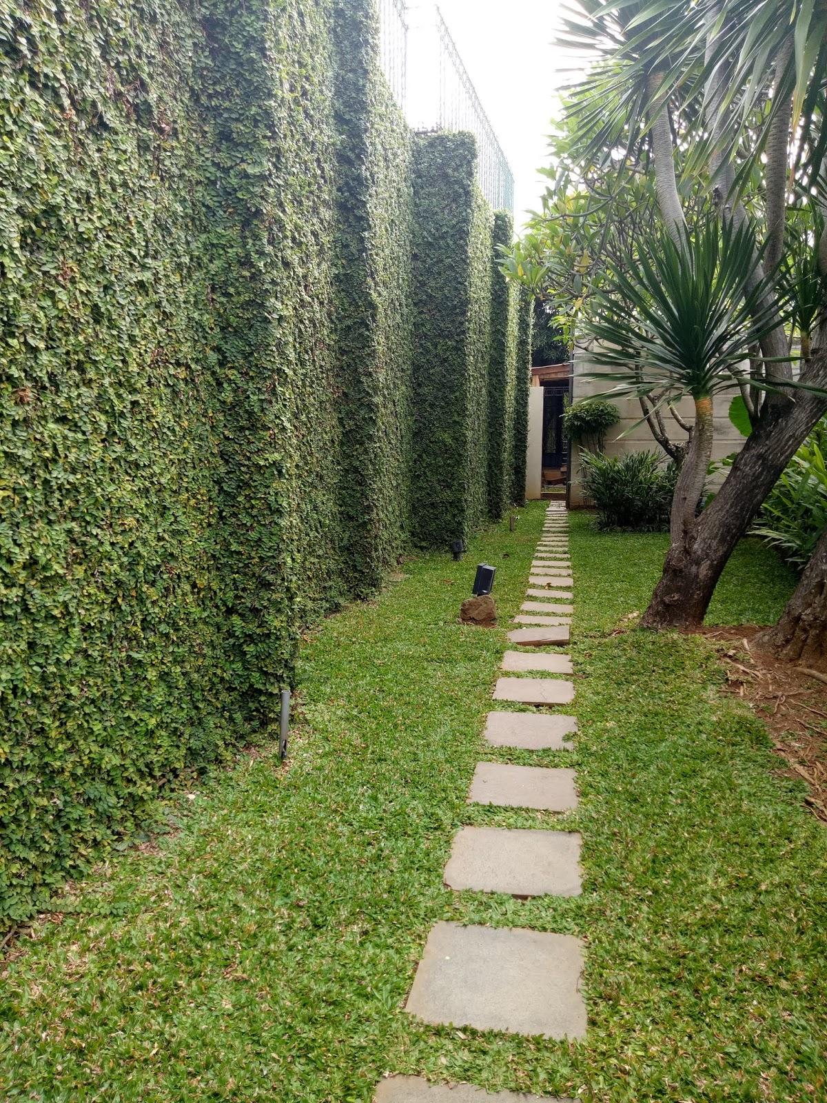 Tanaman Dolaran Atau Pacar Tembok Atau Ficus Repens Dan Ficus
