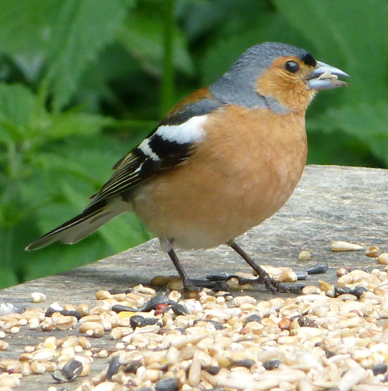 Chaffinch bird feeding on seed open raised platform