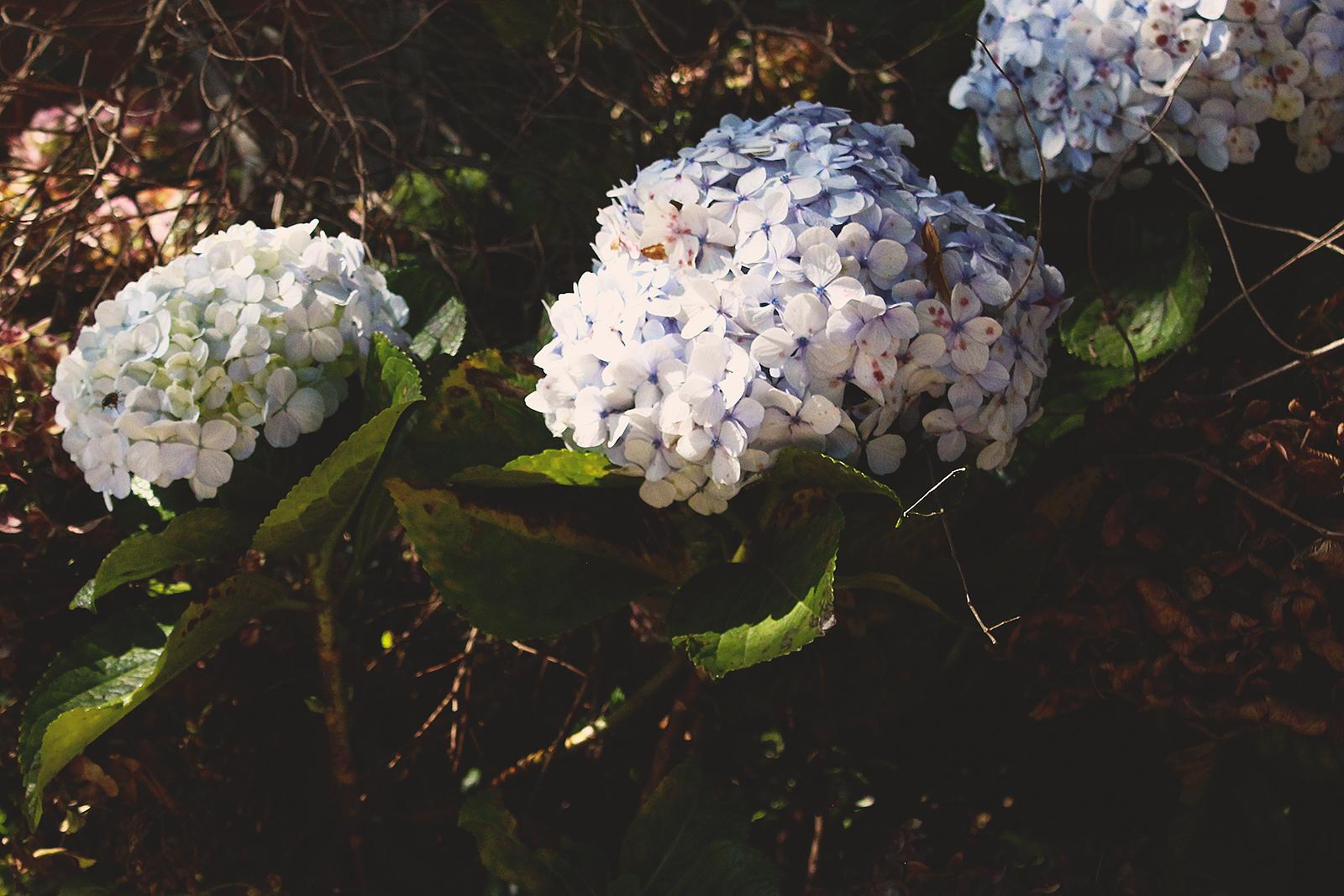 cachos flores hortência