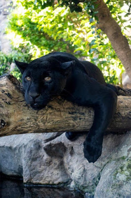 jaguar de loro Parque