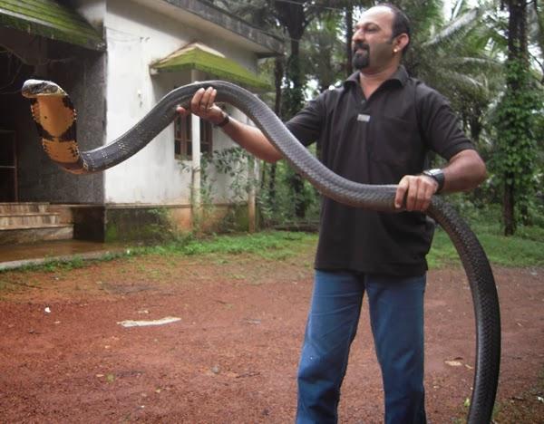 Female king cobra sperm