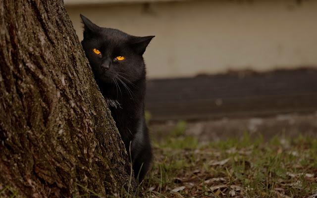 Zwarte kat achter een boom