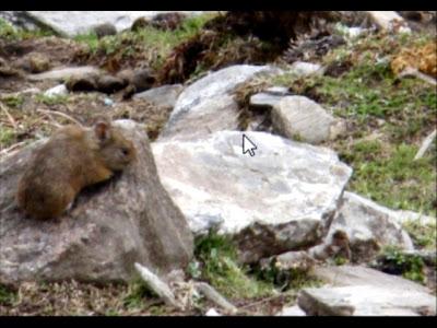 Himalayan Vole mammals