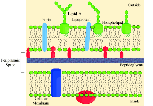 Struktur dinding sel bakteri gram negatif