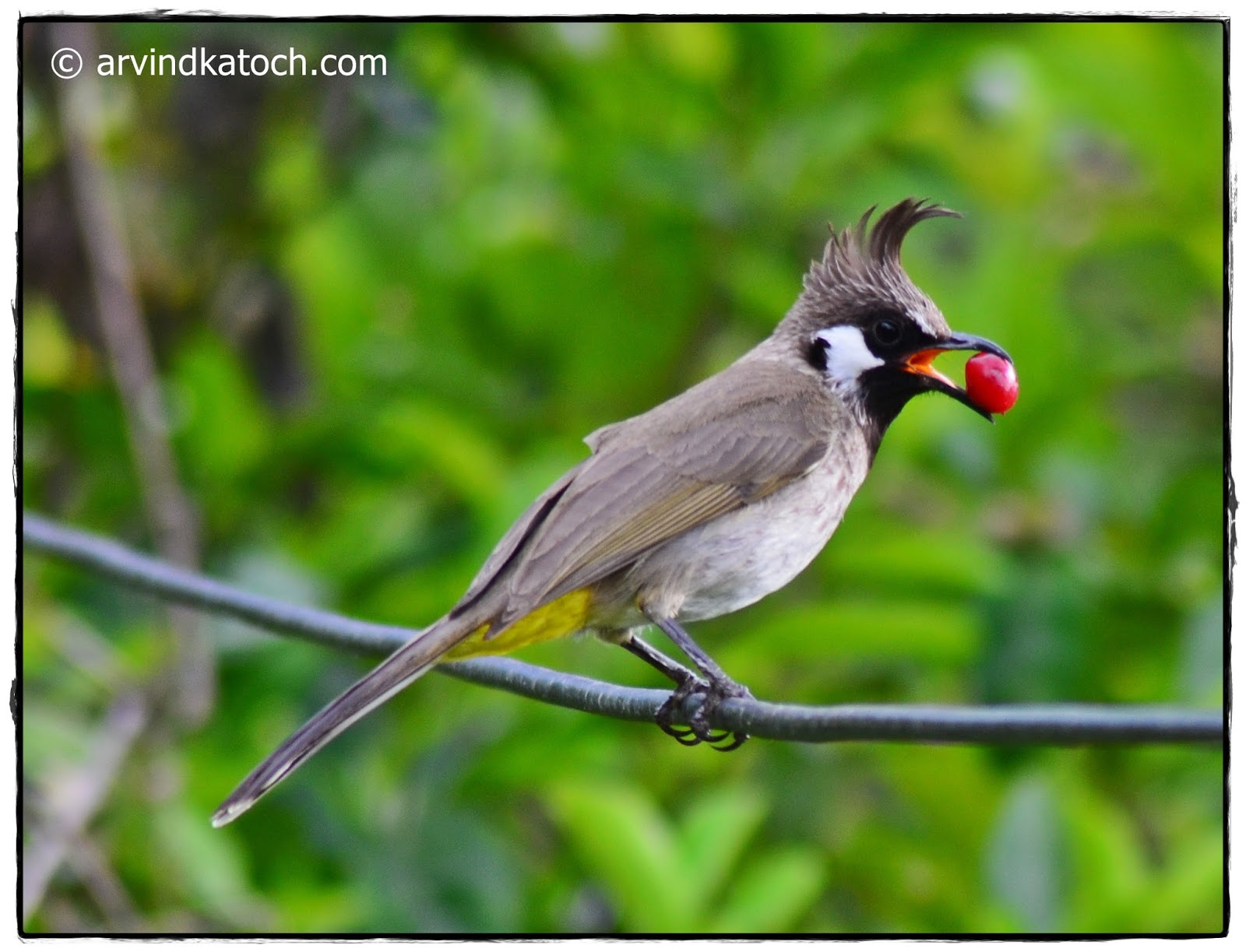The Himalayan Bulbul Pycnonotus Leucogenys Or Or White