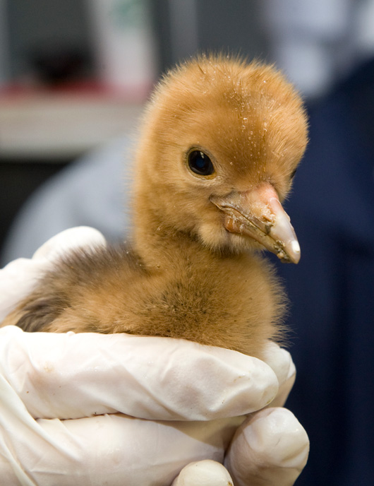 Baby Animals: Crane Chicks 13