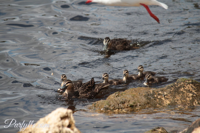 Black ducks vying for the right to raise the ducklings