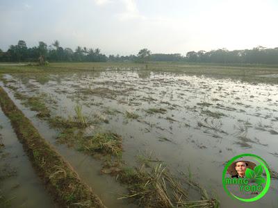Petani Mulai Turun Kesawah. Musim Tanam Ke-2 di Pagaden Barat, Subang Telah Tiba