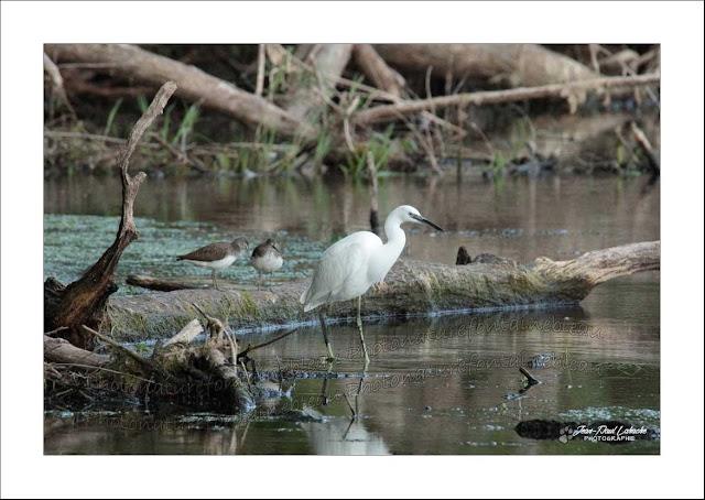un grand échassier blanc sur le bord d ela loire  il s'agit d'une aigrette