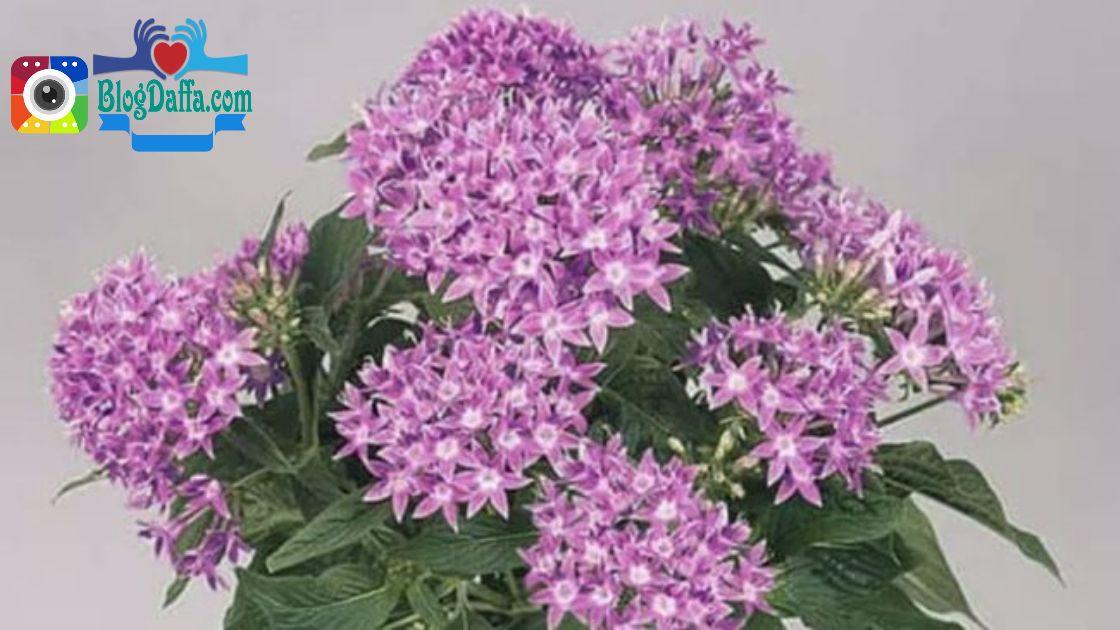 Tanaman outdoor Bunga Pentas