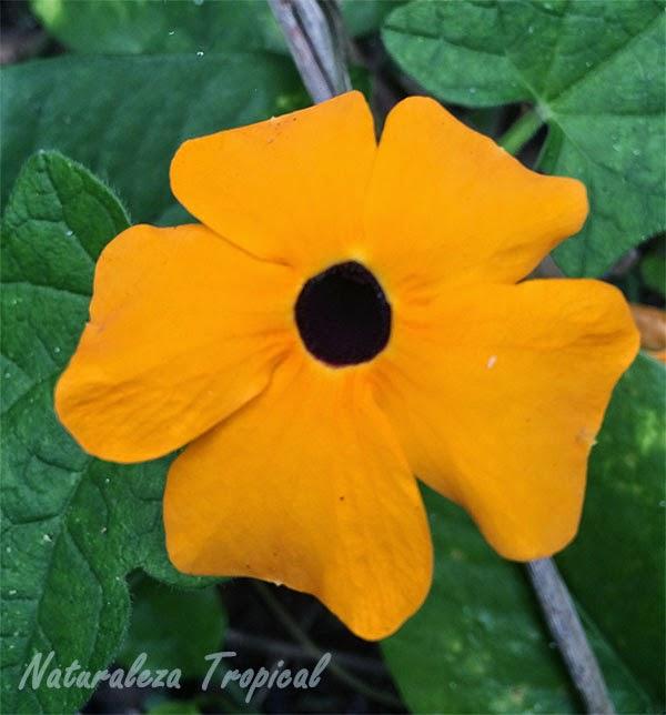 Variedad Anaranjada de la flor Ojo de Poeta, Thumbergia alata
