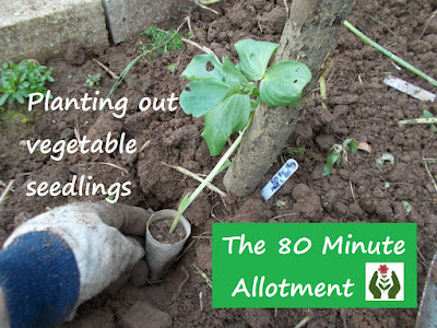 Planting out vegetable seedlings The 80 Minute Allotment Green Fingered Blog
