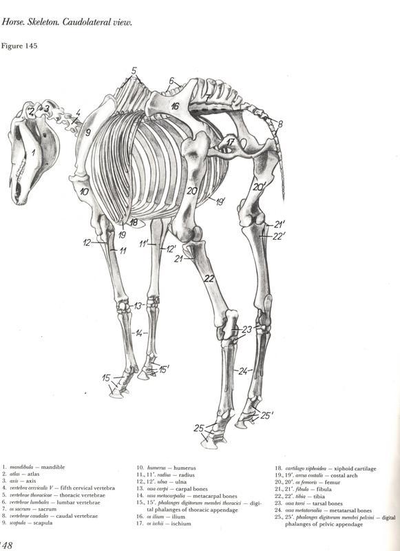 [atlas] Anatomia de Equinos: Membros Pélvicos (Inglês)