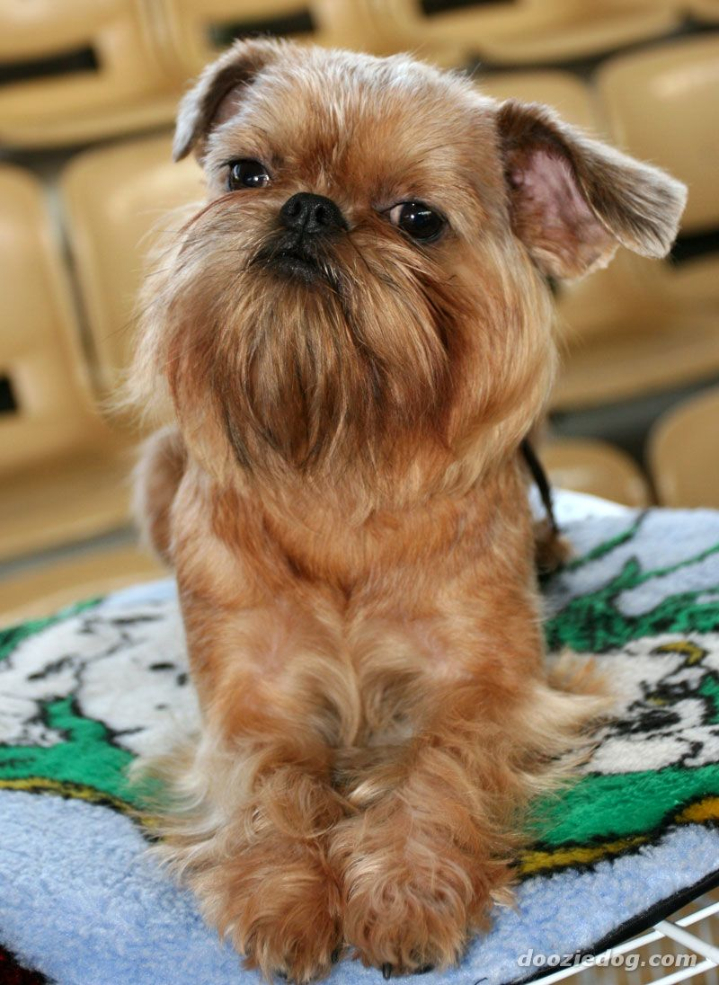 These tiny, furry dogs that can't wait to cuddle with you ... Adopt A Brussels Griffon Puppy
