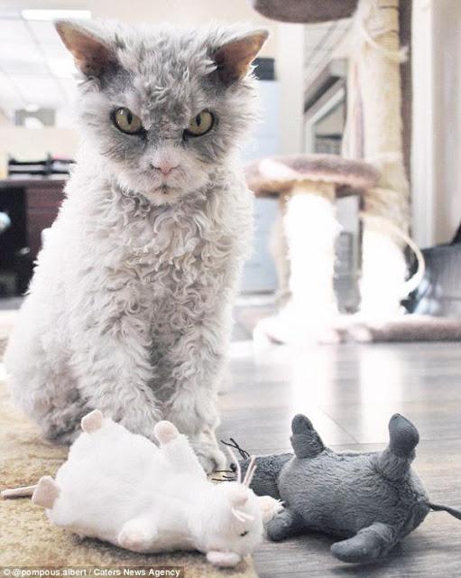 Chú mèo cáu kỉnh phiên bản update đời mới có tên Albert Einstein