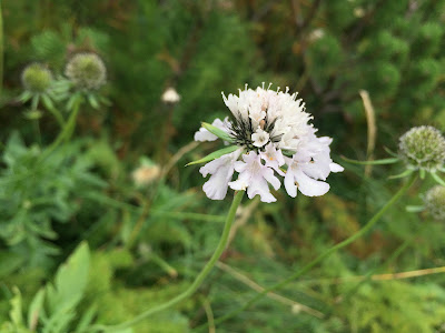 Scabiosa ochroleuca – Cream Pincushions (Vedovina giallognola)