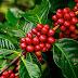 Produção dos Cafés do Brasil ocupa apenas 0,73% da área explorada com atividades agrícolas no território nacional
