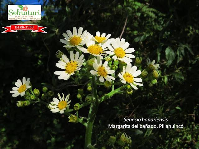 Senecio bonariensis Margarita del bañado Pillahuinco flores