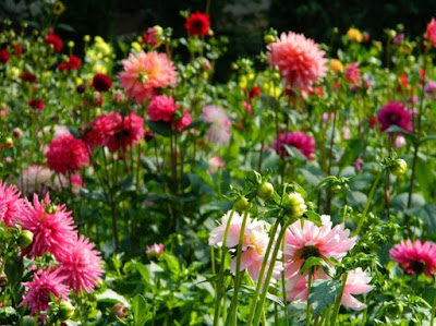 How to Plant Dahlias Flowers With Steak