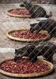 kandang hewan luwak, training pelatihan bisnis kopi luwak