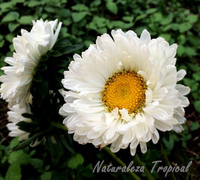 Variedad blanca de la Reina de las Margaritas o Extrañarosa, Callistephus chinensis