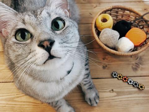編みかけの首輪とサバトラ猫の顔面アップ