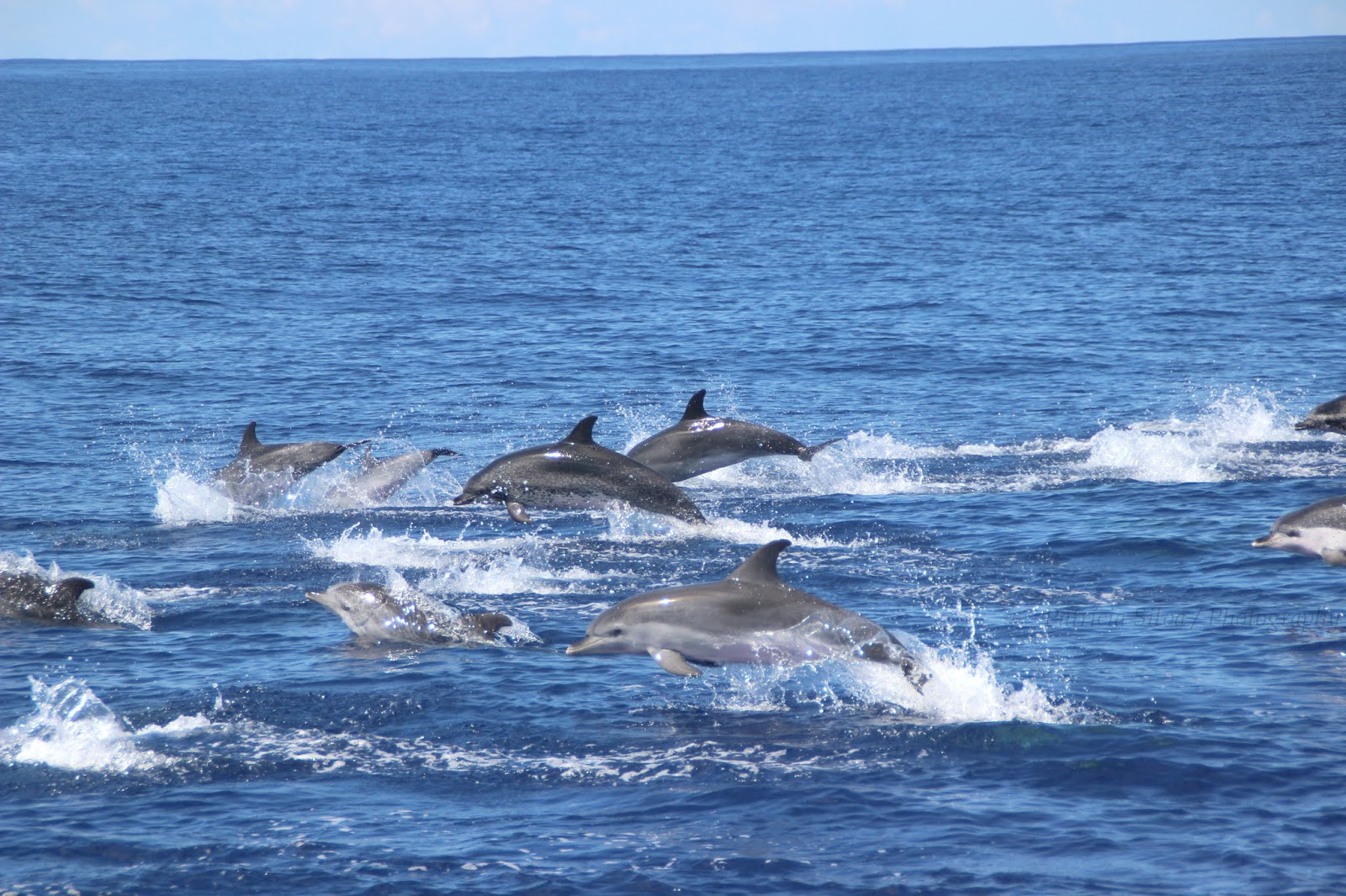 a group of Azores dolphins jumping arround