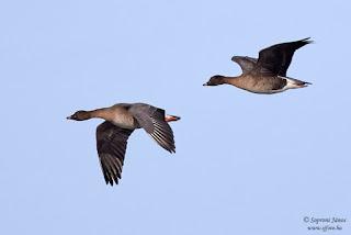 Tundralúd - Tundra Bean Goose - Tundrasaatgans - Anser serrirostris