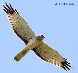 Northern Harrier (adult male)