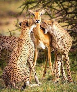 Foto de madre ciervo siendo devorada por los guepardos