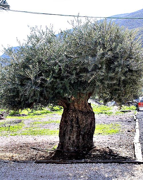 olive tree magdala