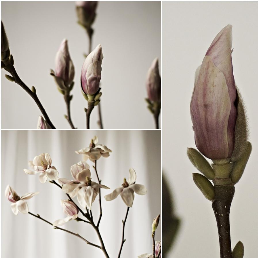 verschiedene Stadien einer Magnolienblüte