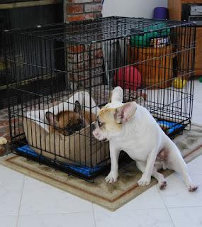 imobilizador de coluna para cães