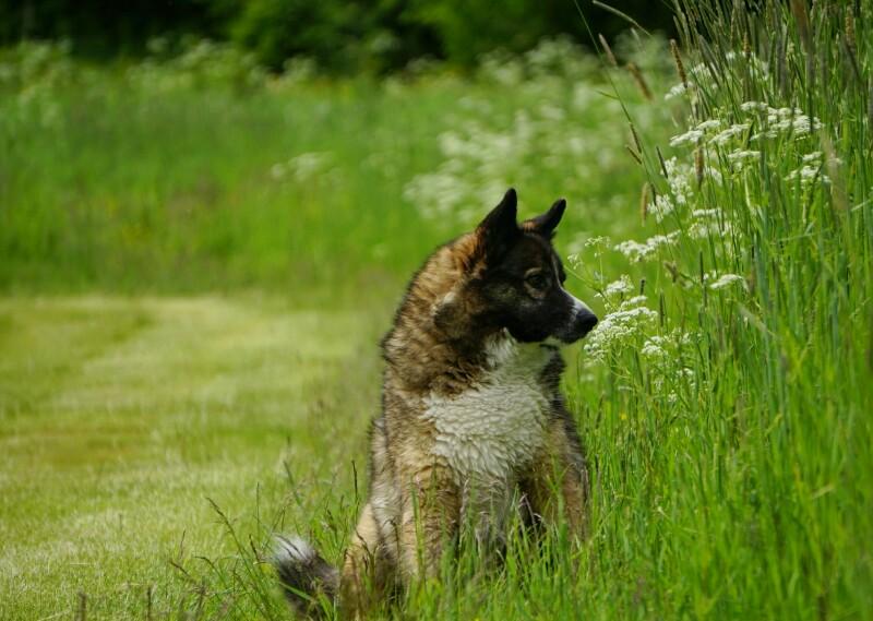 Koira, sekarotuinen