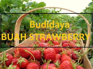 Untuk tanam buah Strawberry memang bukanlah hal yang gampang alasannya yaitu strawberry harus di perha Syarat Untuk Menanam Buah Strawberry Agar Berhasil [100%]