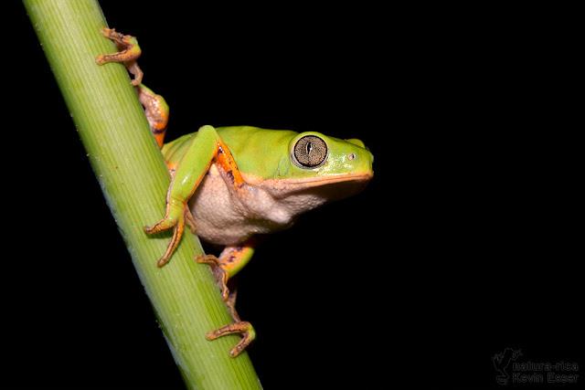 Orange-legged Monkey Frog - Phyllomedusa azurea