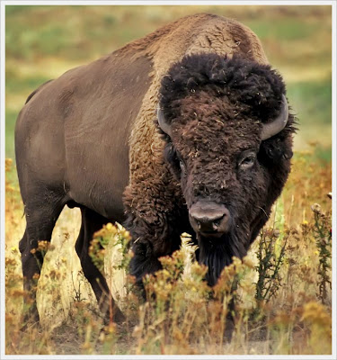 The American Bison facts , Amazing Facts