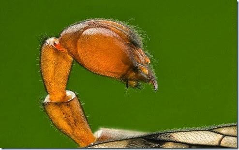 mosca-escorpião
