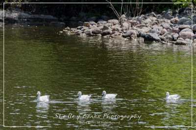 Four Snow Geese, Wascana Lake. Copyright © Shelley Banks, all rights reserved.