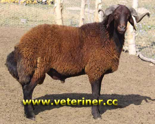 мор-караманская порода овцы