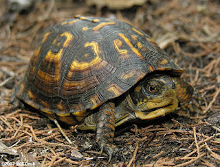 Box turtle gay marriage