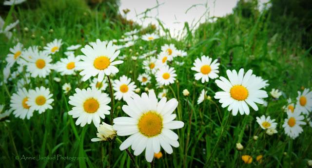 daisies, Connemara
