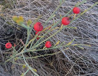 Frutos rojos de retama loca o espantalobos (Osyris alba)