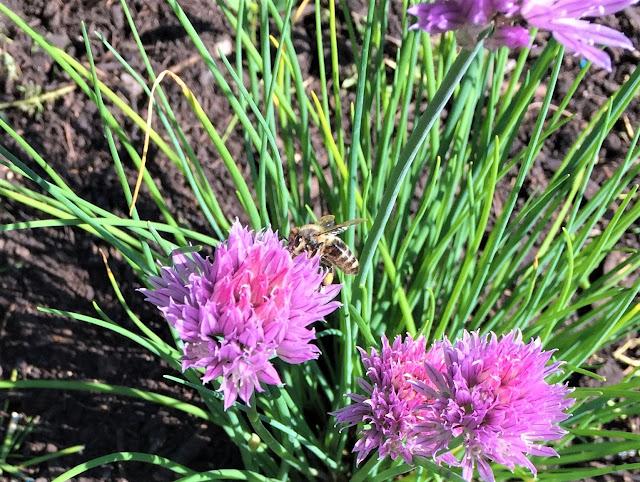 Biene auf dem Schnittlauch