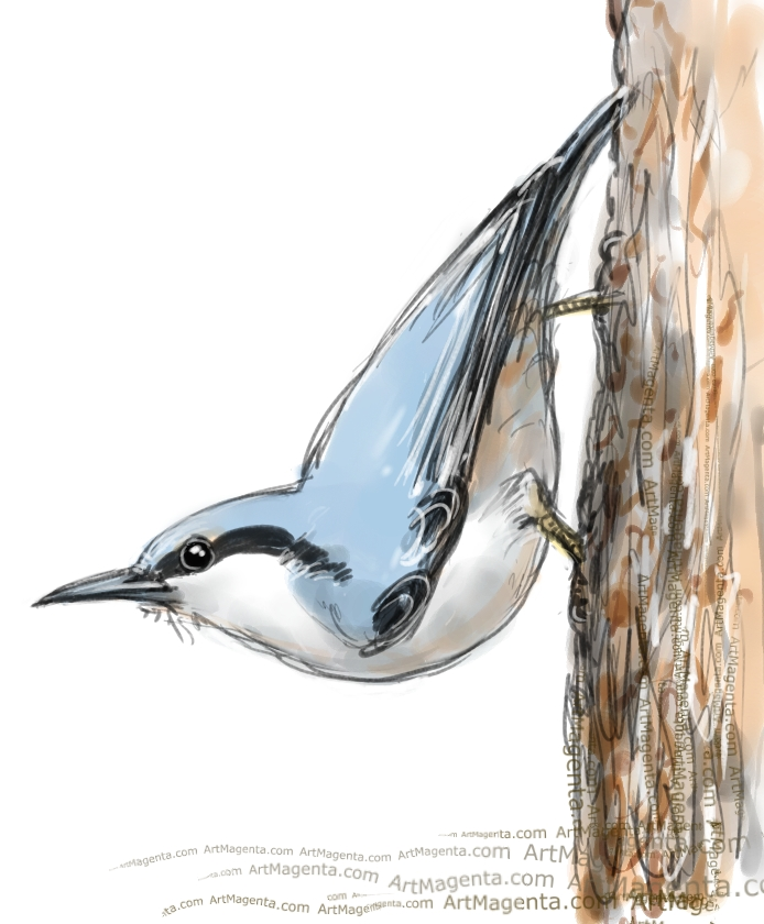 Nuthatch sketch painting. Bird art drawing by illustrator Artmagenta