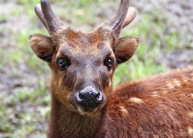 Go Philippines: Visayan Spotted Deer