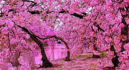 Nama Latin Bunga Sakura, si Cantik Pembawa Harapan dan Keberuntungan