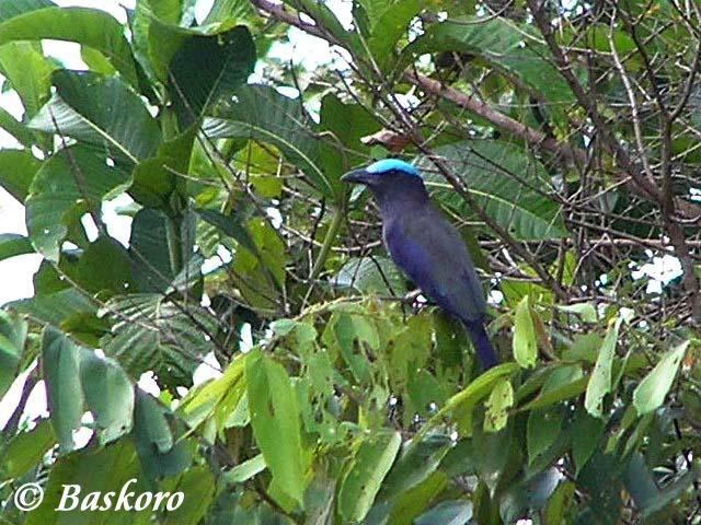 burung endemik wilayah Sulawesi ini dikenal dengan nama  Mengenal Burung Tiong-Lampu Sulawesi