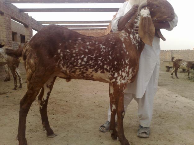 Qurbani at eid ul adha 2012 in Pakistan   World Web ...